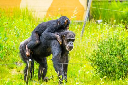 closeup of a young western chimpanzee riding the back of an adult, critically endangered animal specie from Africa