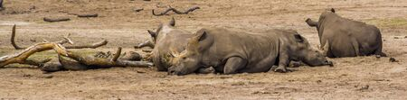 group of southern white rhinoceroses resting on the ground, Endangered animal specie from Africa Stock fotó