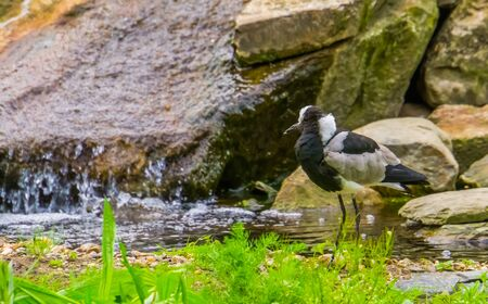 closeup of a blacksmith lapwing standing at the water side, tropical bird specie from Africa Stok Fotoğraf