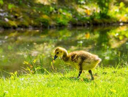 closeup portrait of a cackling goose gosling at the water side, Juvenile duck, tropical bird specie from America