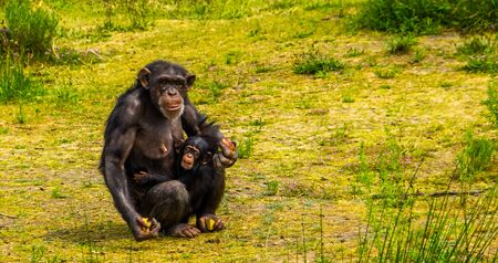 Western chimpanzee mother holding her infant, Beautiful family portrait, critically endangered animal specie from Africa