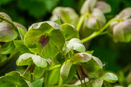 hellebore flowers in macro closeup, evergreen plant from Eurasia, popular cultivated plant in horticulture, nature background