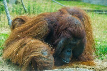 closeup of a bornean orangutan, great ape from Asia, Critically endangered animal specie