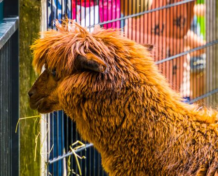 brown hairy alpaca in close up with its head, cute and adorable farm animals, tropical specie from America