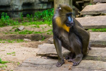 closeup of a mandrill monkey scratching its behind, tropical primate with a colorful face, vulnerable animal specie from Cameroon, Africa Reklamní fotografie