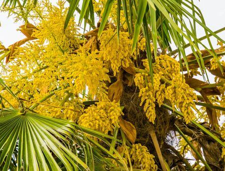 closeup of yellow flower in bloom in a palm tree, popular tropical garden tree, nature background Banque d'images