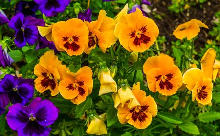closeup of orange pansy flowers, colorful and popular ornamental garden flowers, nature background