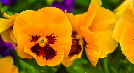 Macro closeup of a orange pansy flower, colorful and popular ornamental garden flowers, nature background