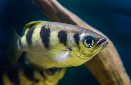 closeup portrait of a banded Archer fish, popular tropical aquarium pet, Exotic specie from the Indo-pacific ocean