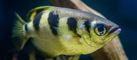 Closeup of a banded archer fish, popular aquarium pet in aquaculture, Exotic specie from the Indo-pacific ocean 스톡 콘텐츠