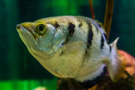 funny closeup of the face of a banded archer fish, Popular aquarium pet in aquaculture, tropical animal specie from the Indo-pacific ocean 스톡 콘텐츠