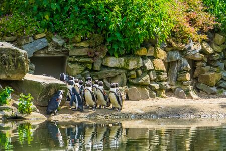 big family of african black footed penguins together in the zoo, tropical water bird specie from the coast of Africa