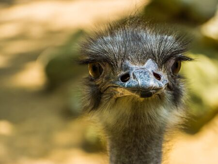 adorable closeup of the face of a common ostrich, popular flightless bird specie from Africa