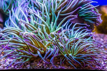 closeup of a Mediterranean snakelocks sea anemone, common invertebrate specie from the mediterranean sea, marine life background