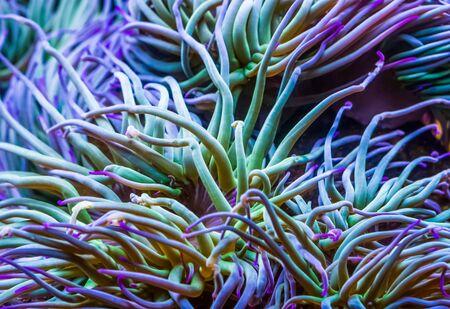 makro zbliżenie macek śródziemnomorskich snakelocks morski anemon, wspólny tropikalny gatunek bezkręgowców, tło życia morskiego