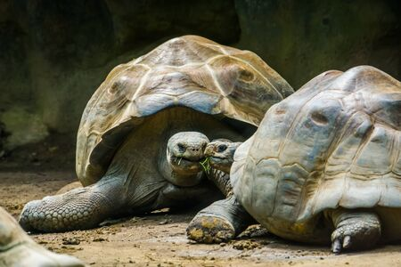intimate galapagos tortoise couple with their head together, Vulnerable terrestrial turtle specie from the galapagos islands