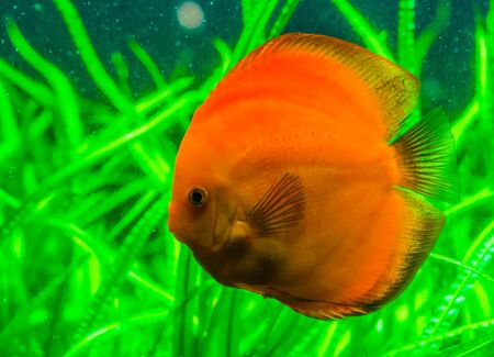 closeup portrait of a orange discus fish, popular tropical pet from the Amazon basin of South America, Exotic fish specie
