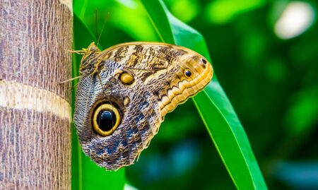 macro closeup of a forest giant owl butterfly, beautiful tropical insect specie from america
