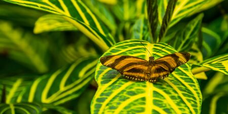 closeup of a orange banded tiger butterfly sitting on a leaf, tropical insect specie from brazil and mexico