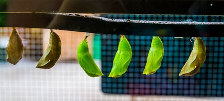 green butterfly cocoons in closeup, tropical insect specie, larva in metamorphism, Entomoculture