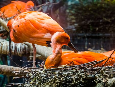 closeup of a red scarlet ibis sitting in its nest and preening its feathers, tropical bird portrait during breeding season Reklamní fotografie