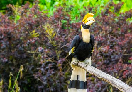 great indian hornbill sitting on a tree branch, beautiful tropical bird, Vulnerable animal specie from Asia Reklamní fotografie