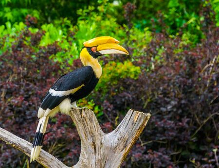 Great indian hornbill bird sitting on a tree top, tropical and vulnerable animal specie from Asia Reklamní fotografie