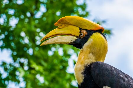 beautiful closeup of the face of a great indian hornbill bird, Vulnerable animal specie from Asia Reklamní fotografie