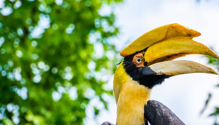 closeup of the face of a great indian hornbill, Beautiful and colorful bird, Vulnerable animal specie from Asia