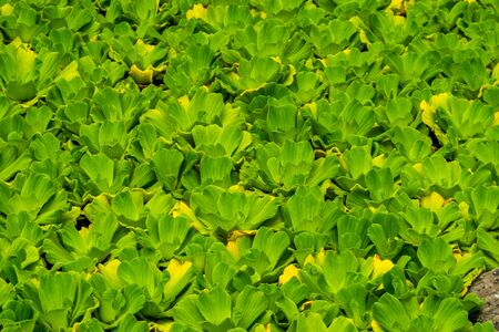 large field of water lettuce in macro closeup, popular aquarium plants, tropical invasive species, nature background