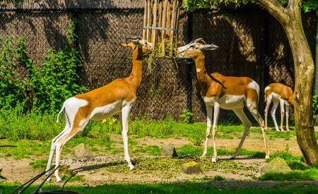 mhorr gazelle couple eating hay together, zoo animal feeding, critically endangered animal specie from the desert of africa