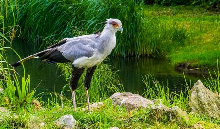 closeup of a secretary bird standing at the shore, vulnerable animal specie from Africa