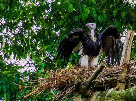 white headed vulture standing in its nest and spreading its wings, critically endangered animal specie from Africa