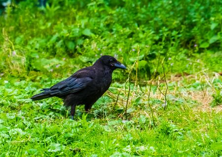 closeup of a black crow in the grass, common bird specie from Europe