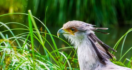 the head of a secretary bird in closeup, vulnerable animal specie from the desert of africa