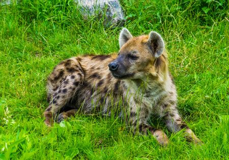 closeup of a spotted hyena laying in the grass, tropical wild dog from Africa