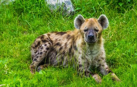 spotted hyena laying in the grass and looking towards the camera, tropical wild cat from Africa