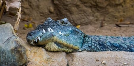 Nile crocodile with a deformed jaw in closeup, animal disability, exotic reptile specie from Africa