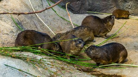 group of rock hyraxes eating together, tropical animal specie from Africa