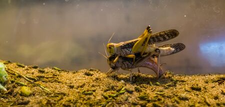 couple of migratory locusts mating together, wide spread insect specie