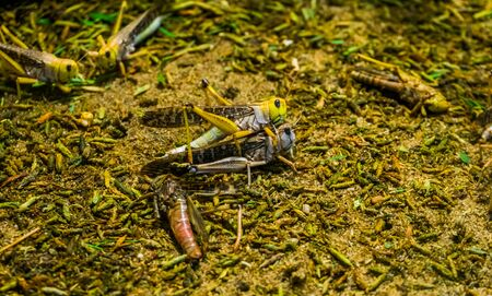 migratory grasshopper couple mating together in macro closeup, Wide spread insect specie