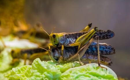 migratory locust couple mating together in macro closeup, popular insect specie