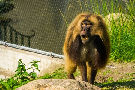funny gelada baboon making sound, monkey face in closeup, tropical primate specie from the ethiopian highlands of africa