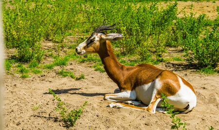 mhorr gazelle laying on the ground in closeup, critically endangered animal specie from the desert of Africa