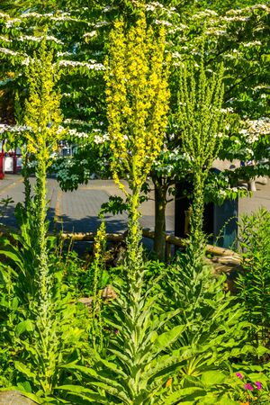 group of great mullein plants together, popular large wild plants from europe Reklamní fotografie