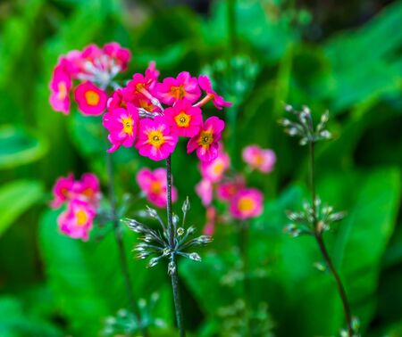 pink primula flowers in macro closeup, nature background, popular garden plant specie