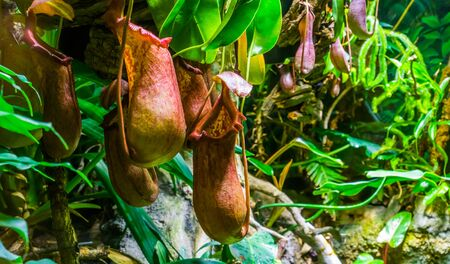 closeup of the beakers of a tropical pitcher plant, nephenthes species, carnivorous plants, nature background Reklamní fotografie