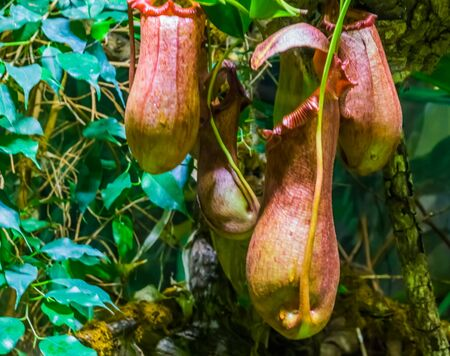 closeup of the flowers of a tropical pitcher plant, nephenthes species, carnivorous plants, nature background Reklamní fotografie