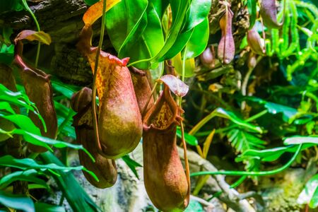carnivorous plants, nephentes species, flowers of a tropical pitcher plant in closeup, exotic nature background