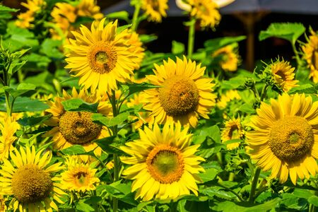 Field of sunflowers in bloom, ornamental garden flowers, nature background
